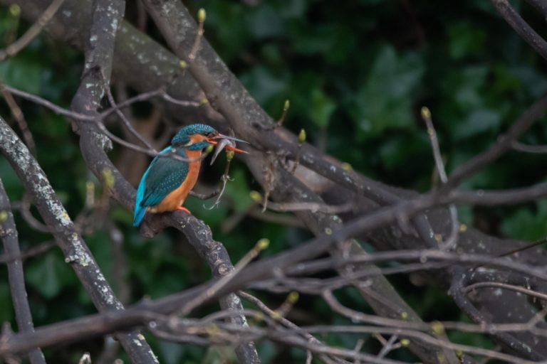 Kingfisher, Dave Stewart