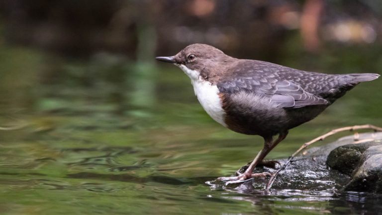 Dipper - Water of Leith