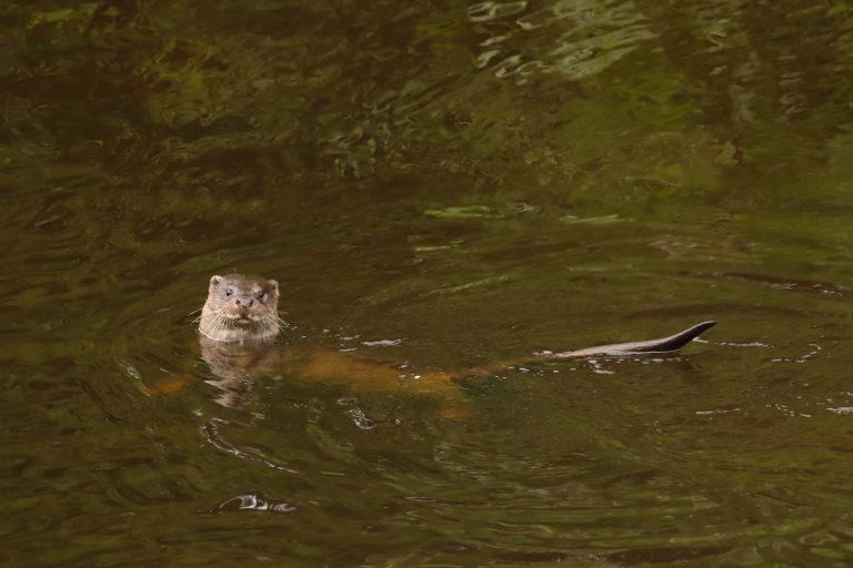 Otter, Saughton Park, by Charles Everitt