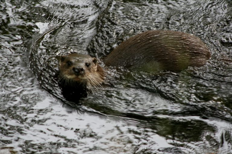 Otter on Water of Leith