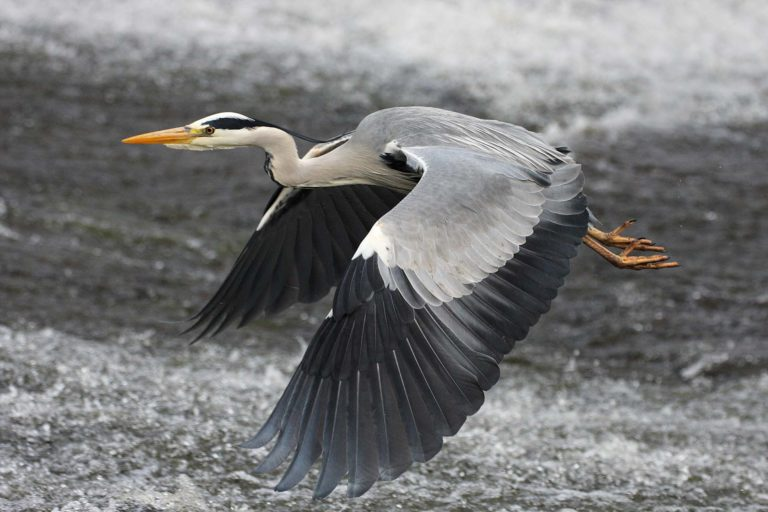 Crane - Water of Leith