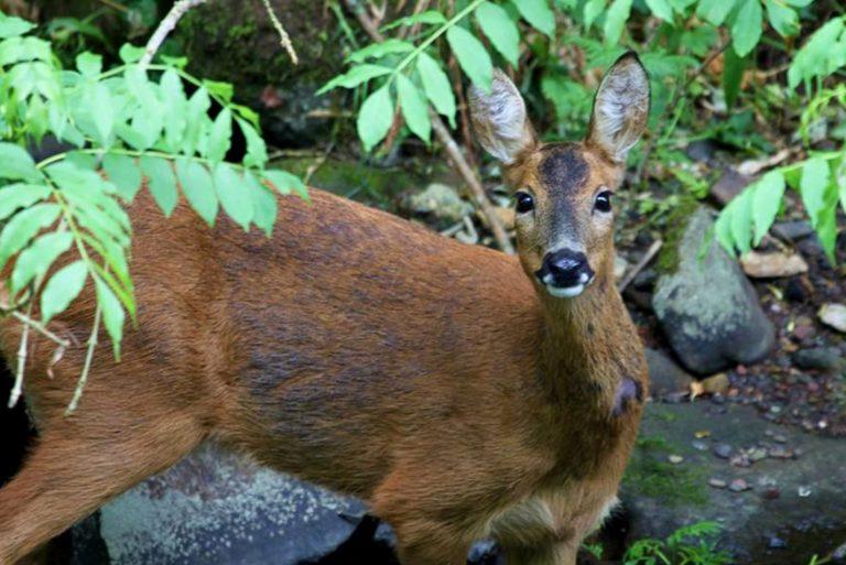 Deer, Water of Leith