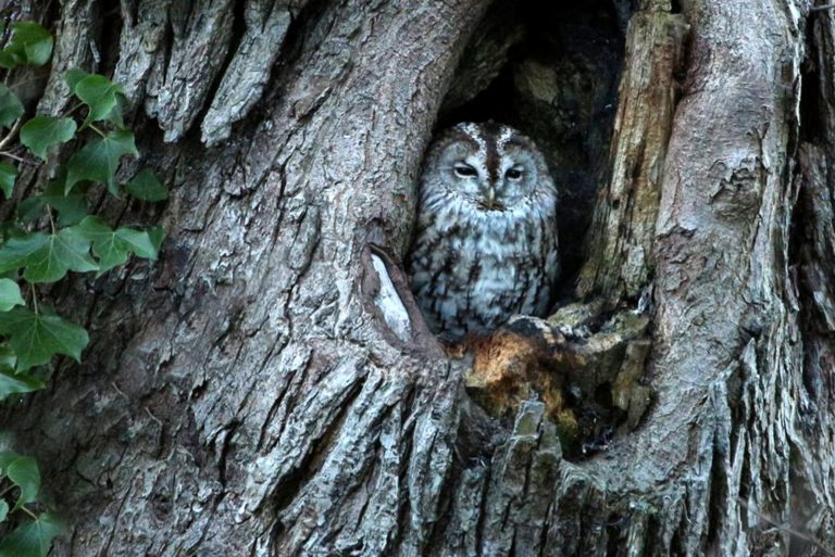 Owl, Redhall - Water of Leith