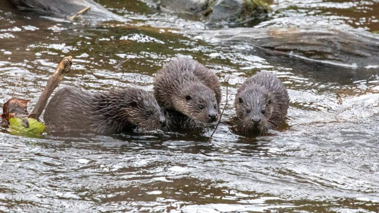 Otter Cubs - Water of Leith